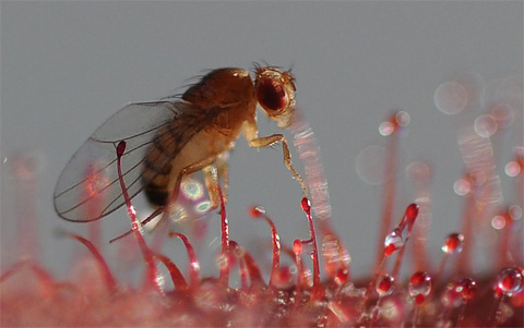 how to catch fruit flies