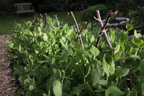 I plant bush peas, and though they don't officially require a trellis, I make a low stick trellis to provide a little structure.  The inner row of peas leans against the trellis, and the outer row of peas leans against the inner row to keep them all from flowing into the path.