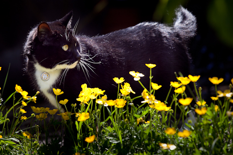 Our beloved predator, Delilah, among the backyard buttercups.